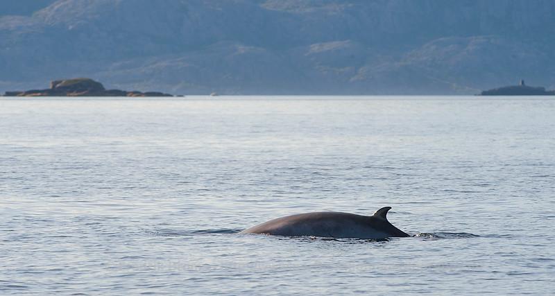 Minke Whale, Lofoten, Norway