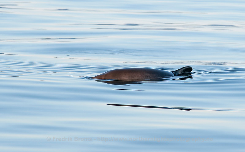 Harbour Porpoise, Lofoten, Norway