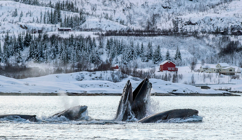 Humpbacks Whales feeding outside Kvaløya, Norway