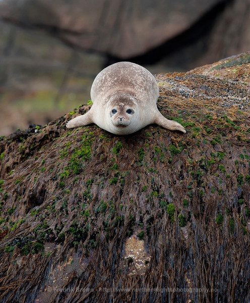 Young Harbour Seal, Norway