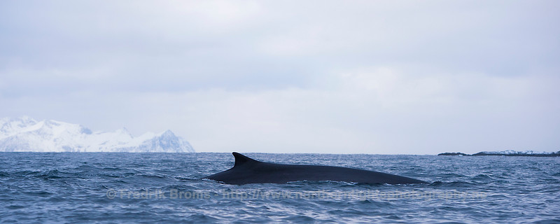 Fin Whale Panorama, Norway