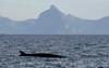 Sei Whale, Lofoten, Norway