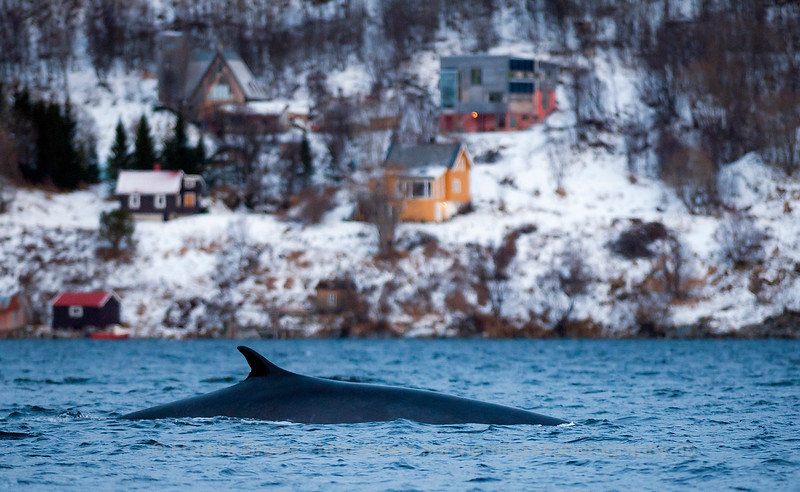 Fin Whale close to the Coast, Northern Norway