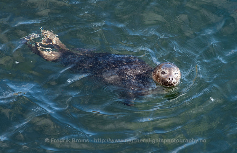 Harbour Seal, Northern Norway