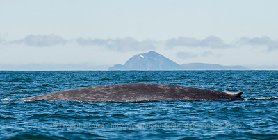 Blue Whale, Svalbard, Norway