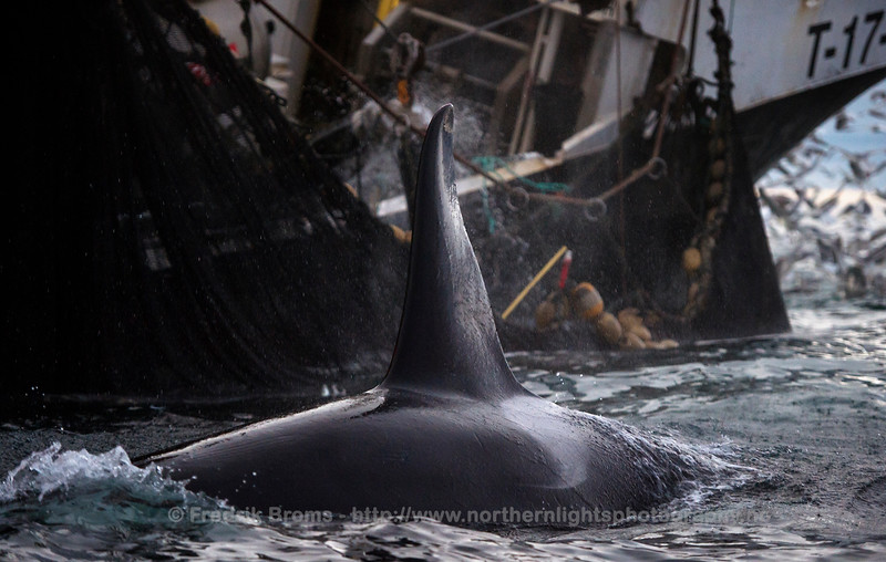Killer Whale feeding on herring around a purse seine boat, Kvaløya, Norway