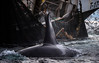 Killer Whale feeding on herring around a purse seine boat, Kvaløya, Norway