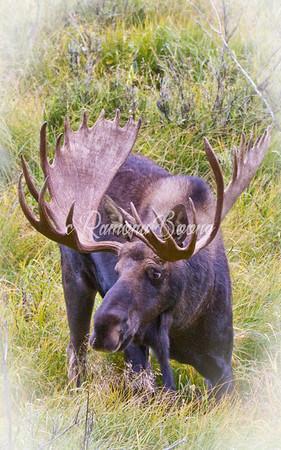 2. Moose