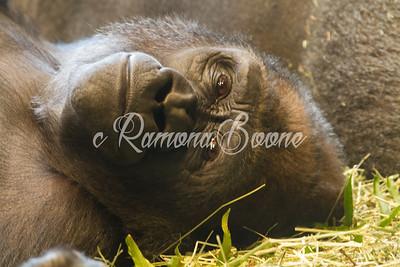 1. Gorilla