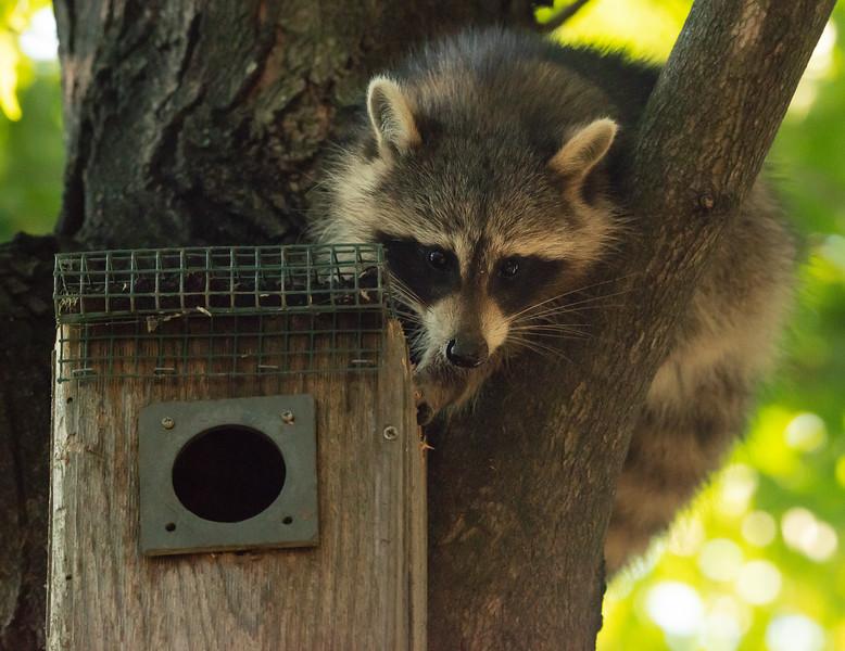 Marauding Raccoon