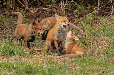 Red Fox and her Kits
