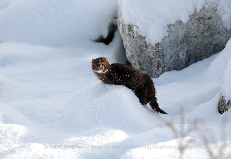 Mink in Winter Landscape, Norway