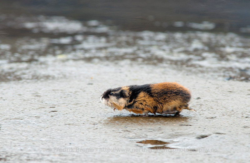 Norwegian Lemming on the run, Norway