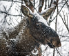 Close-up of Moose in the snow, Norway