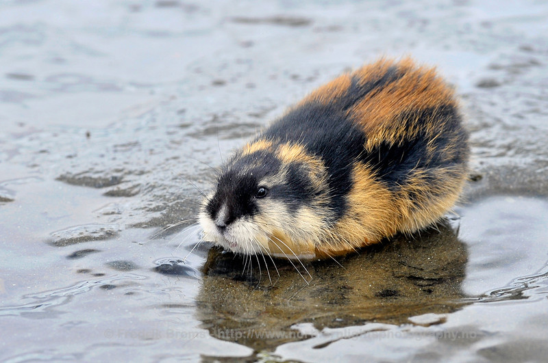 Norwegian Lemming, Norway