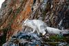 Arctic Fox in a Bird Colony, Svalbard