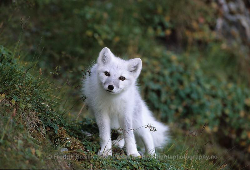 Curious Arctic Fox, Svalbard