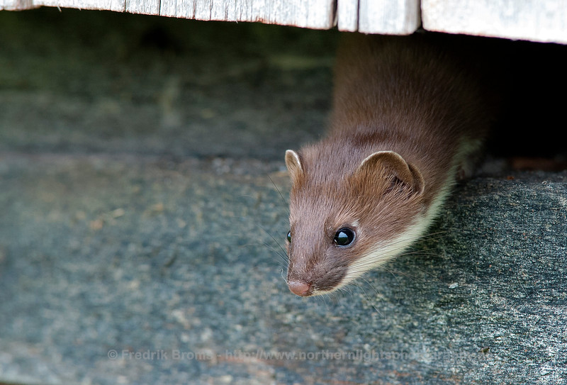 Stoat, Norway