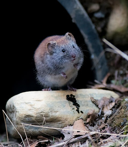 Grey red-backed vole - Gråsidemus - Clethrionomys rufocanus