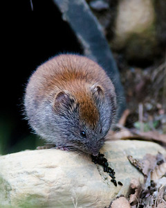 Grey red-backed vole, Norway