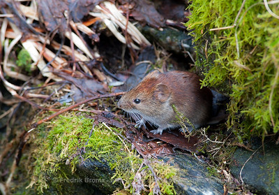 Northern Red-backed Vole - Rødmus -  Myodes rutilus