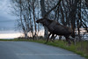 Moose crossing a Road, Norway