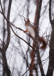 Squirrel - Ekorn - Sciurus vulgaris