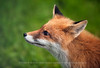 Red Fox, Close-up, Norway