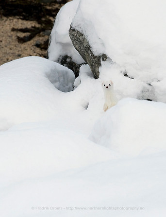 Stoat in Winter Coat, Norway