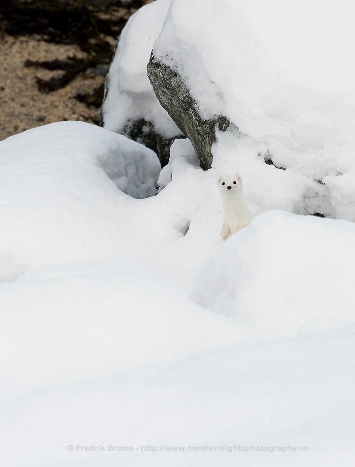 Stoat in Winter Coat, Norway
