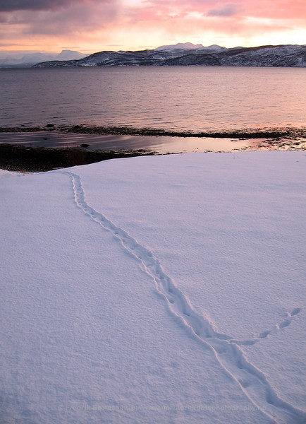 Tracks left by an Otter sliding on the snow, Norway