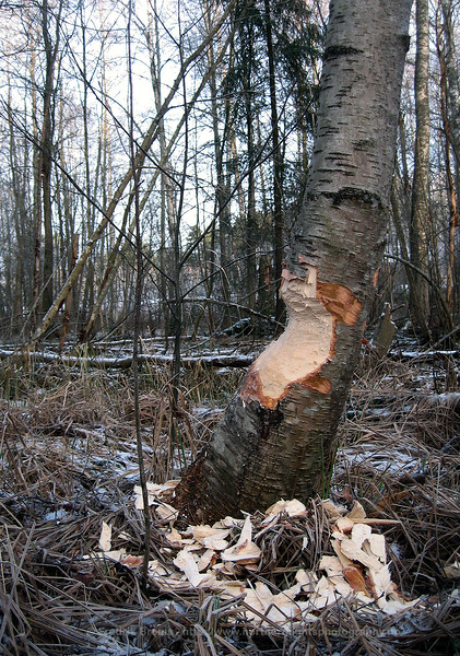 Tree partly felled by Beaver, showing wood chips and gnawing marks, Sweden