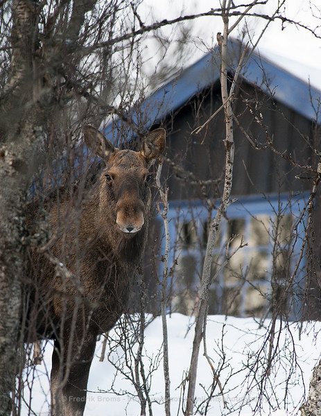 Moose outside the door, Norway