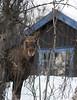 Moose outside the door, Norway
