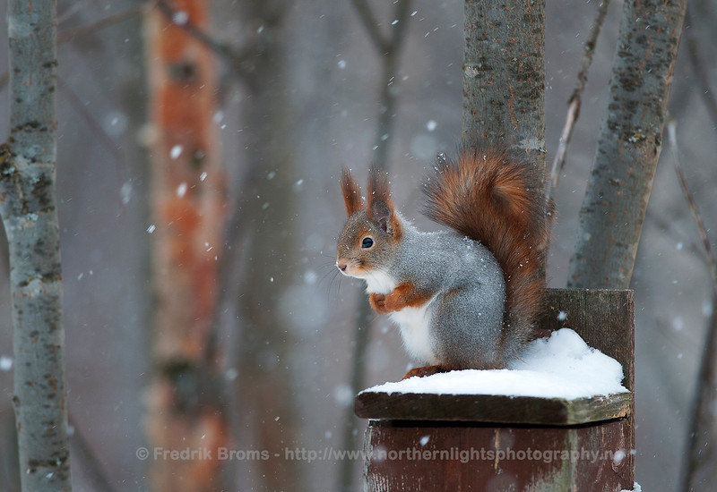 Squirrel, Northern Norway