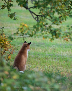 Red Fox - Rødrev - Vulpes vulpes