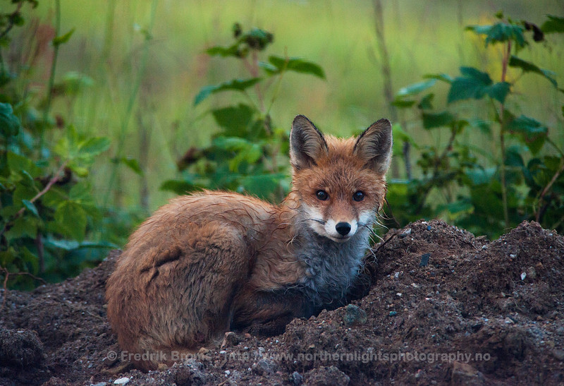 Red Fox on a Field, Norway