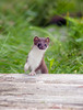 Curious Stoat, Norway