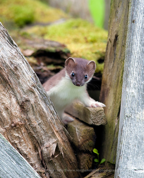 Brother and Sister Stoat, Norway