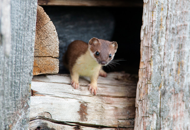 Stoat, Female, Norway