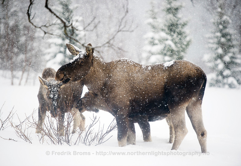 Moose cow with two old calves, Norway