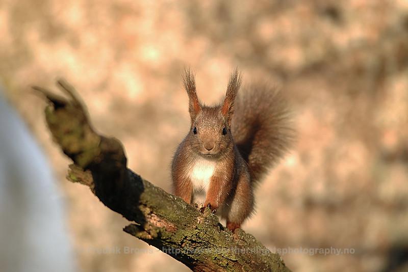 Squirrel, Sweden