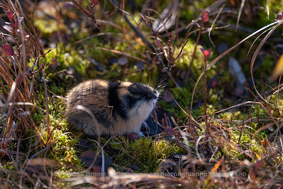 Norway Lemming - Lemen - Lemmus lemmus