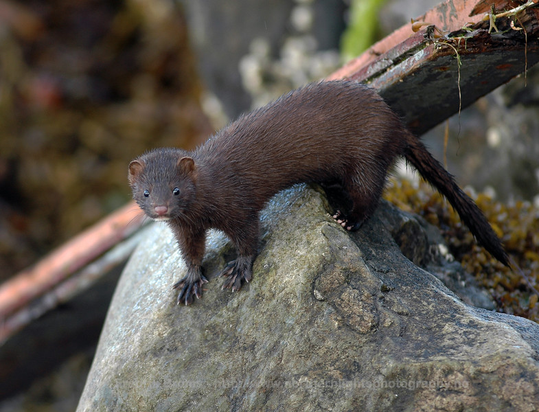 Mink in Tromsø Harbour, Norway