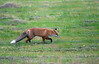 Red Fox on the Hunt, Norway