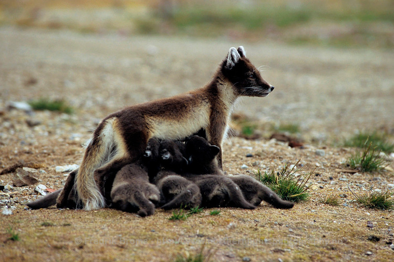 Arctic fox nursing her nine cubs, Svalbard, Norway
