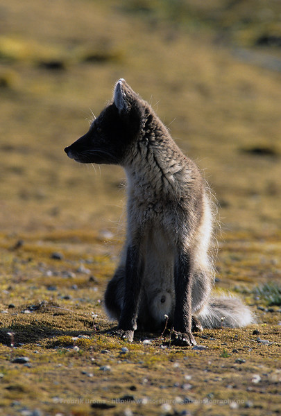 Arctic Fox in the Midnight Sun, Svalbard, Norway