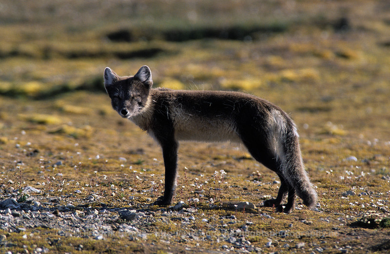 Male Arctic Fox, Svalbard