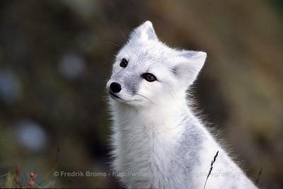 Arctic Fox - Fjellrev - Vulpes lagopus