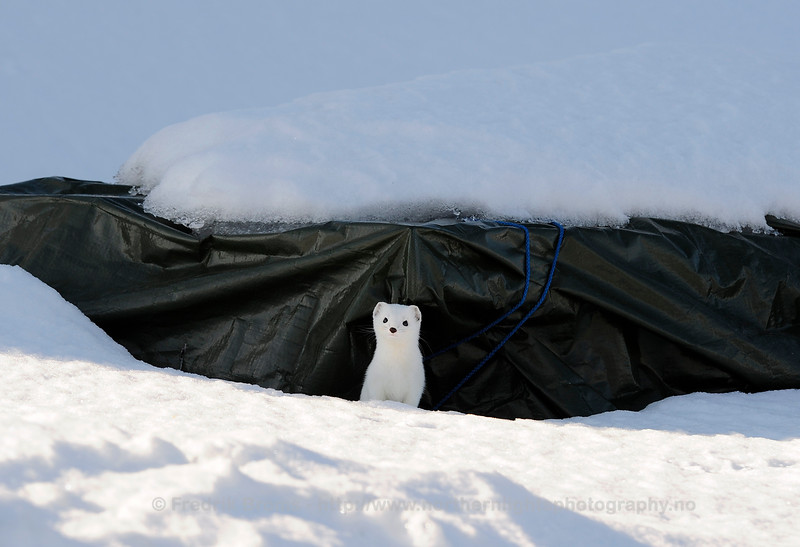 Stoat during Winter, Norway